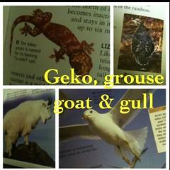 Geko, goat