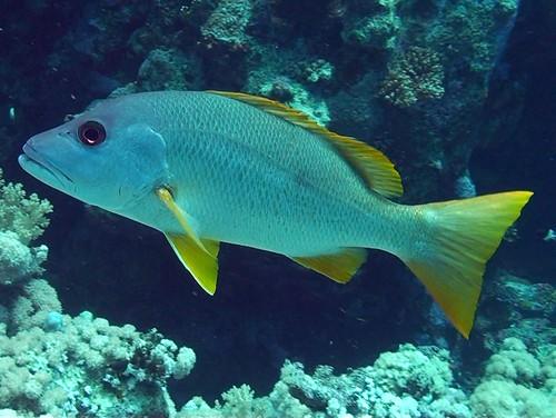Vivaneau églefin de Plongez-Pépère, sur Flickr