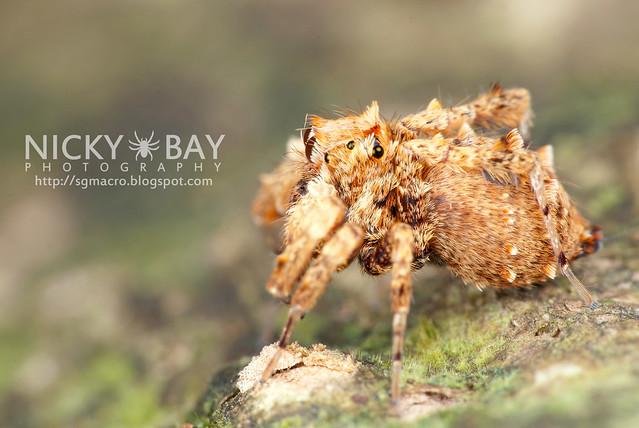 Jumping Spider (Portia sp.) - DSC_4341