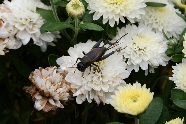 Cricket On Chrysanthemum Throne