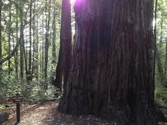 Big Ben Tree