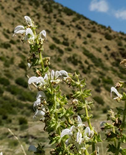 europe armenia lamiaceae wildplants salviasclarea tsapatagh peterphoto gegharkunik