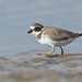 37561  Ringed Plover at Thornham