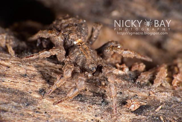 Ground Spider (Cryptothele sundaica) - DSC_0447