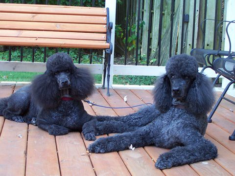 Two poodles relax on a deck.