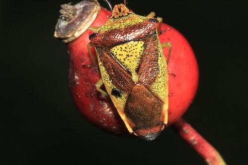 Hawthorn Shieldbug 21546