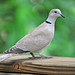 Eurasian Collared Dove - Photo (c) Heather Paul, some rights reserved (CC BY-ND)