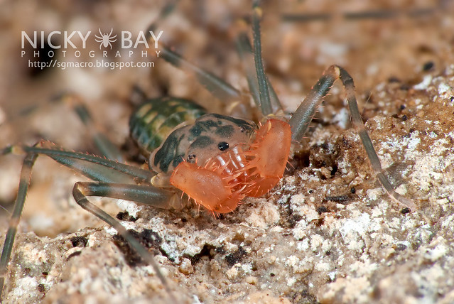 Tailless Whip Scorpion (Amblypygi) - DSC_9866