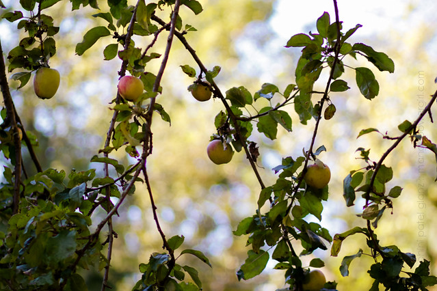apples of piper's orchard