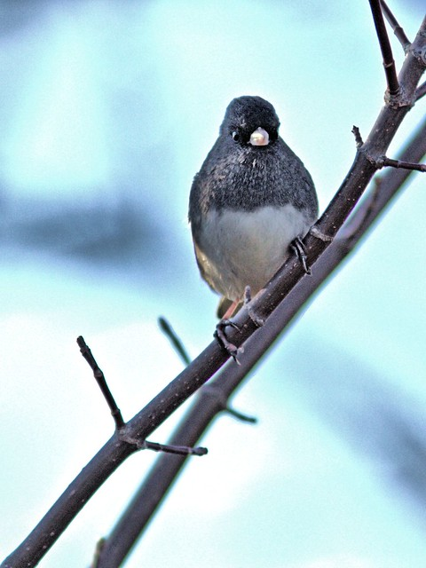 Dark-eyed Junco 20121029