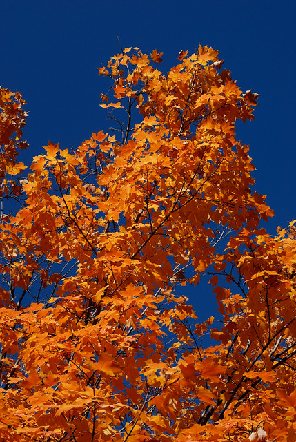 Orange leaves and dark blue sky, in the Tower Grove neighborhood of Saint Louis, Missouri