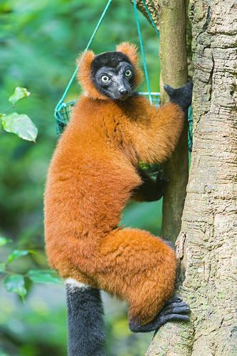 [フリー画像素材] 動物 1, 猿・サル, アカエリマキキツネザル ID:201211041000