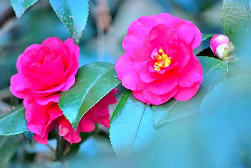 寒椿 (Camellia)