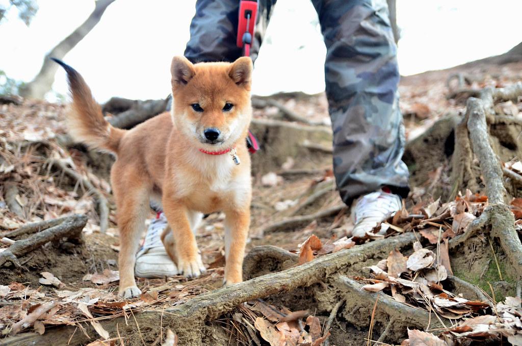 柴犬の子供 (Shiba Inu, Puppy)