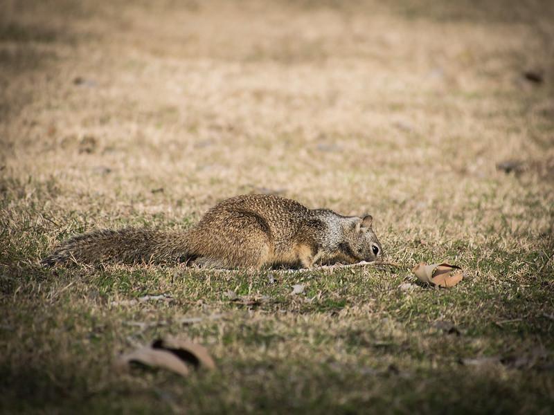 Fisher Ground Squirrel Exploring