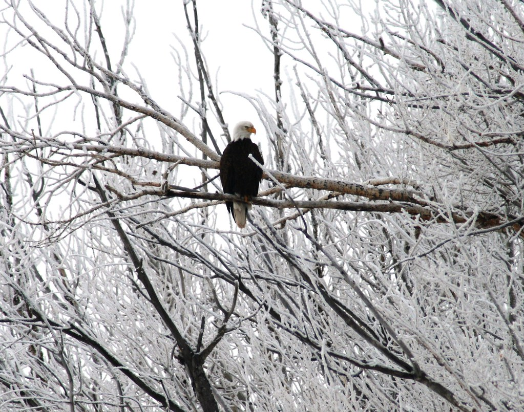Bald Eagle in Snow Covered Tree