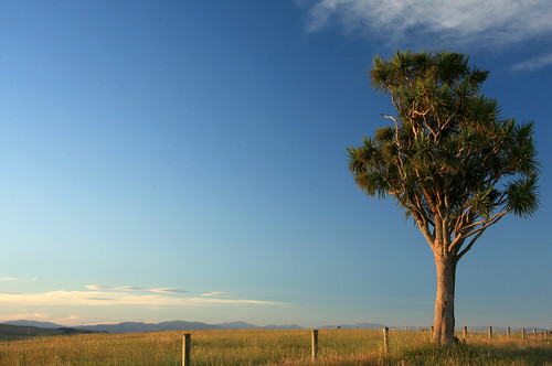 newzealand sky tree evening bluesky nz taiko solitary cabbagetree aotearoa fenceline southcanterbury cordylineaustralis tikouka