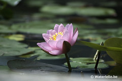 Waterlelie Norma Gedye DSC_6060
