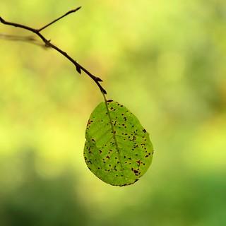 Leftover leaf