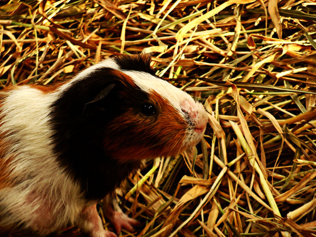 Guinea Pig from Manila Zoo