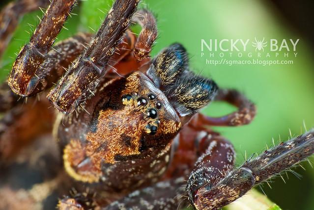 Wandering Spider (Ctenidae) - DSC_8882