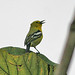 Small photo of Common Iora(Aegithina tiphia)