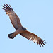 Spotted Harrier by steve happ