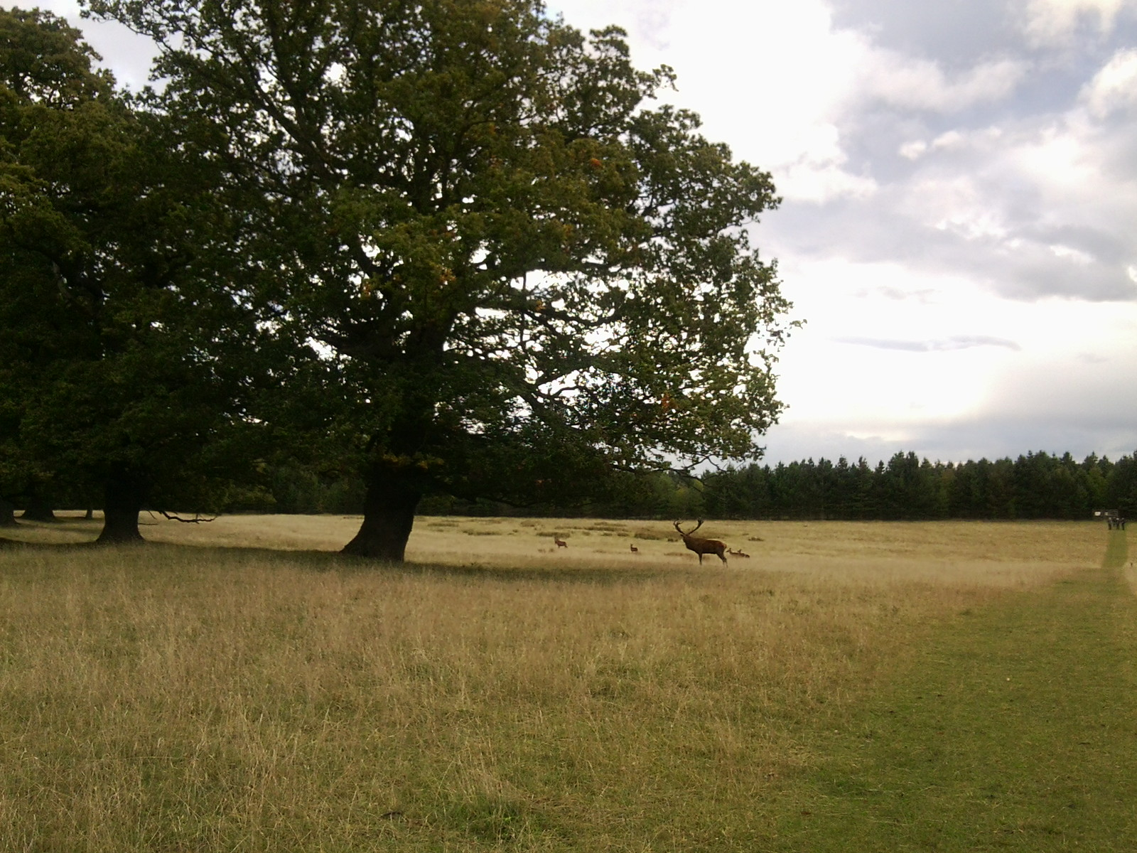 Stag, Woburn Park Bow Brickhill to Woburn Sands