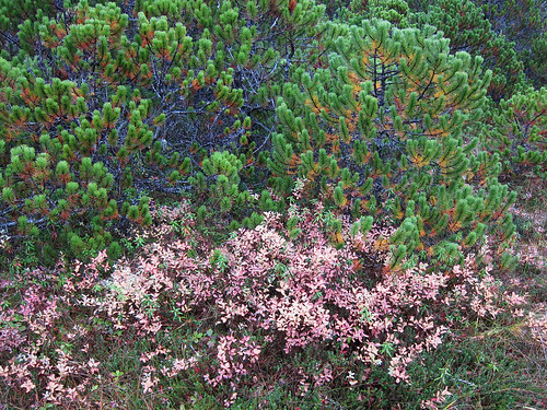 The foliage of bog blueberry (Vaccinium uliginosum) shrubs turns pink in the autumn. These leaves are beginning to fall. Lodgepole pines provide a contrasting backdrop to the berry bushes in a muskeg in Sitka, AK. Muskegs, a colloquial term for peat bogs, blanket 10% of the Tongass National Forest. These wetlands range in size from a few square feet to many acres. Over the ages, muskegs formed as Sphagnum mosses, rushes and sedges grew and built up spongy carpets in these very wet, almost treeless areas. Photo by Mary Stensvold.