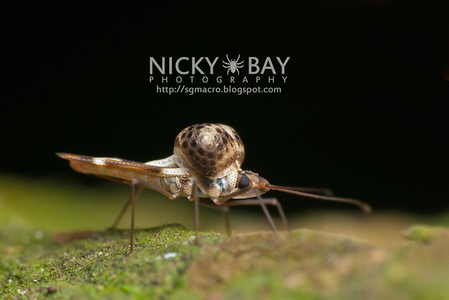 Lace Bug (Ypsotingis sp.) - DSC_5645
