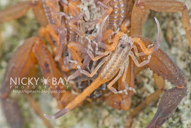 Scorpions (Scorpiones) - DSC_7407