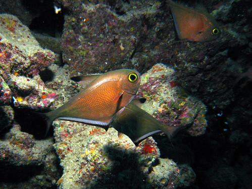 Poisson hachette de Plongez-Pépère, sur Flickr