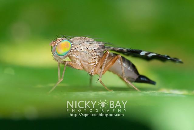 Fruit Fly (Tephritidae) - DSC_4369