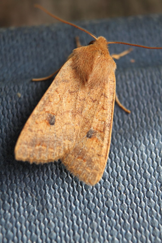 Moth caught in the Moth Trap
