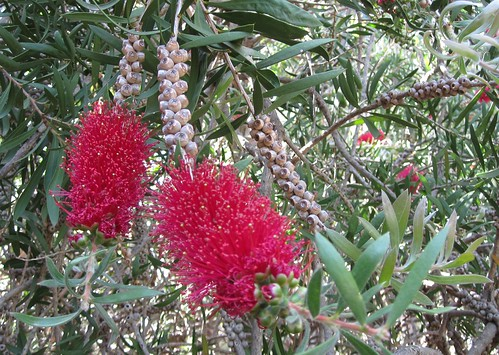 Callistemon citrinus, Crimson Bottlebrush by Anna Amnell