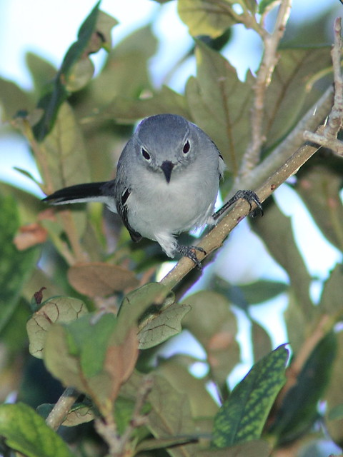 Blue-gray Gnatcatcher 20121022