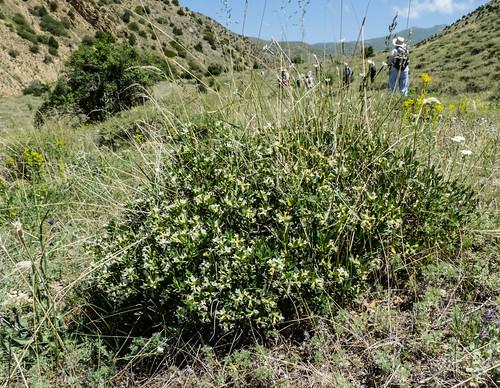 europe armenia wildplants thymelaeaceae tsapatagh peterphoto gegharkunik daphnetranscaucasica
