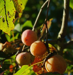 evergreen, branch, leaf, tree, plant, common persimmon, flora, fruit,