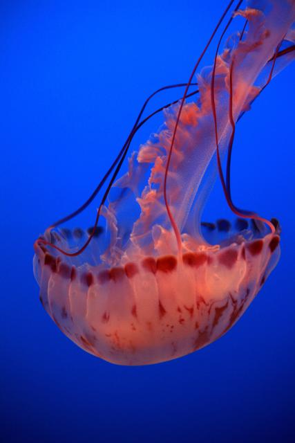 Jellyfish by Sharon Drueen, Monterey, CA, USA