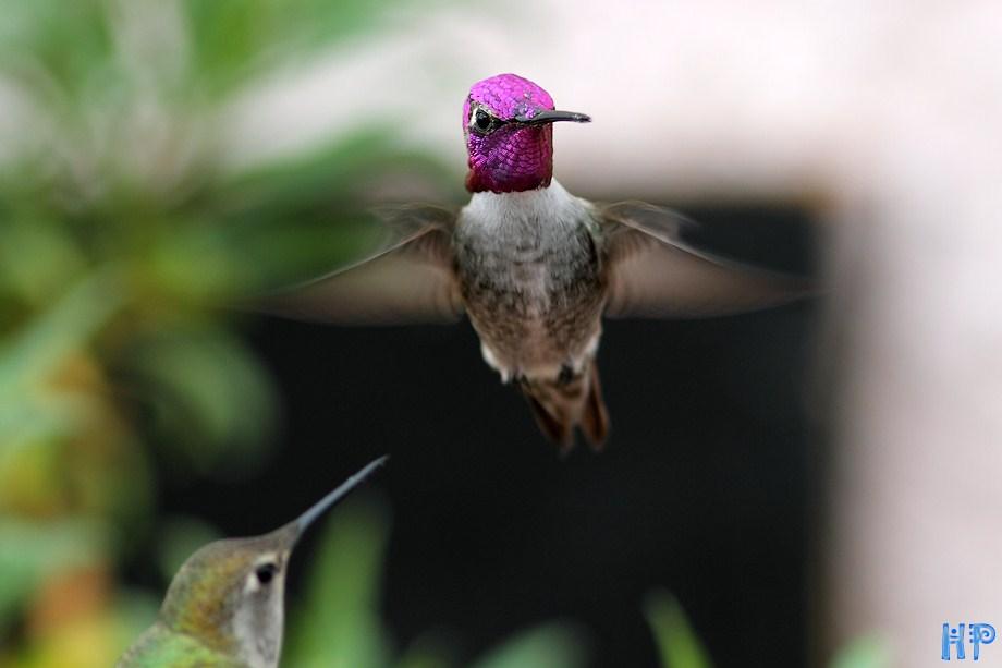 Costa's X Anna's Hummingbird 102512-4