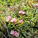Small photo of Alpine Azalea