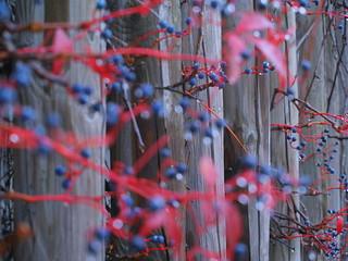 raindrop berries / molten snow