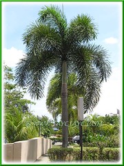 Wodyetia bifurcada (Foxtail Palm): landscaped in a single row at HUKM, KL