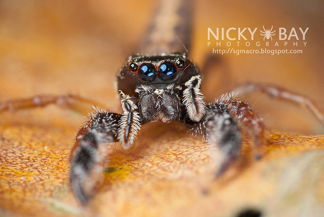 Jumping Spider (Salticidae) - DSC_0104