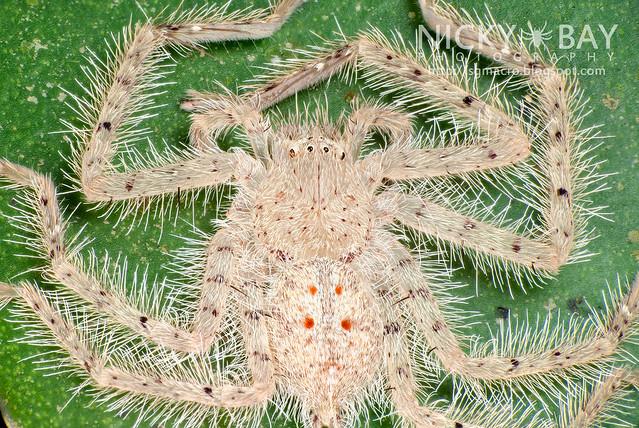 Huntsman Spider (Sparassidae) - ESC_0030