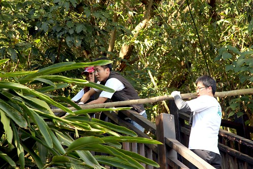 小花蔓澤蘭掛在遠離棧道的樹上,志工們只好出動「傢伙」,想方設法把它們撈下來,拯救被攀附的原生植物。