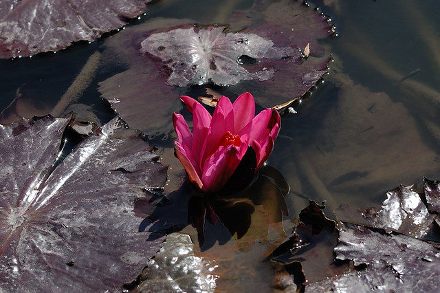 Pink water lily and pads at Tower Grove Park, in Saint Louis, Missouri, USA