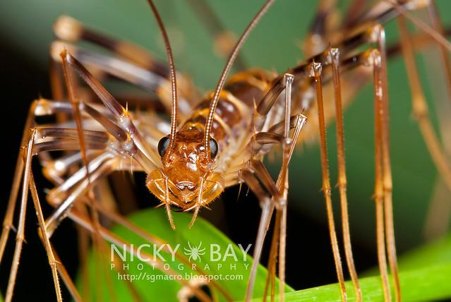 House Centipede (Scutigeridae) - DSC_8957