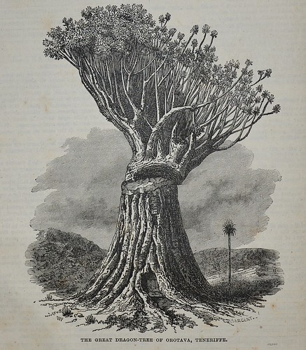 Dragon tree of Teneriffe - Popular Educator 1854 by AndyBrii