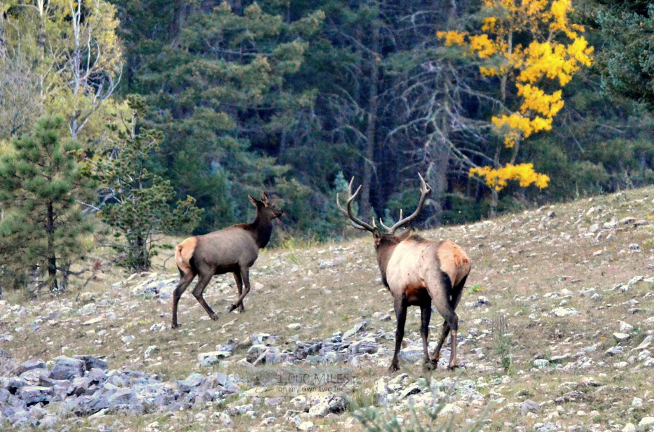The Natural World: Elk in Estes Park: Up Close and Personal With ...